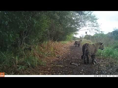 Onças-pintadas -Jaguar Fazenda San Francisco Pantanal Sul - Biofaces - Bring Nature Closer