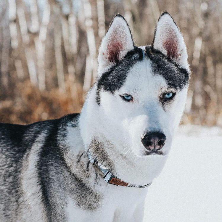 Instagram Love Petee The Husky Husky Modern Pet Dogs