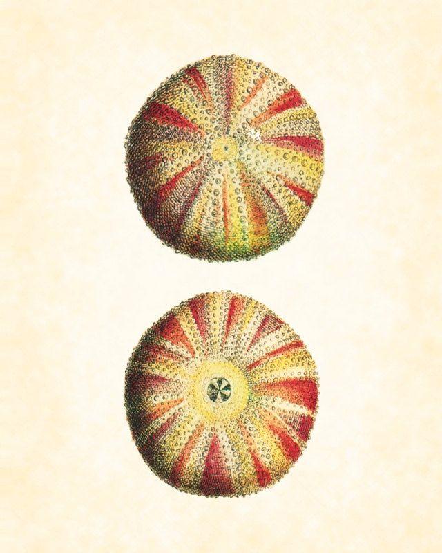 Vintage Sea Urchin Plate 1 | Art: Botanical & Natural Science ...