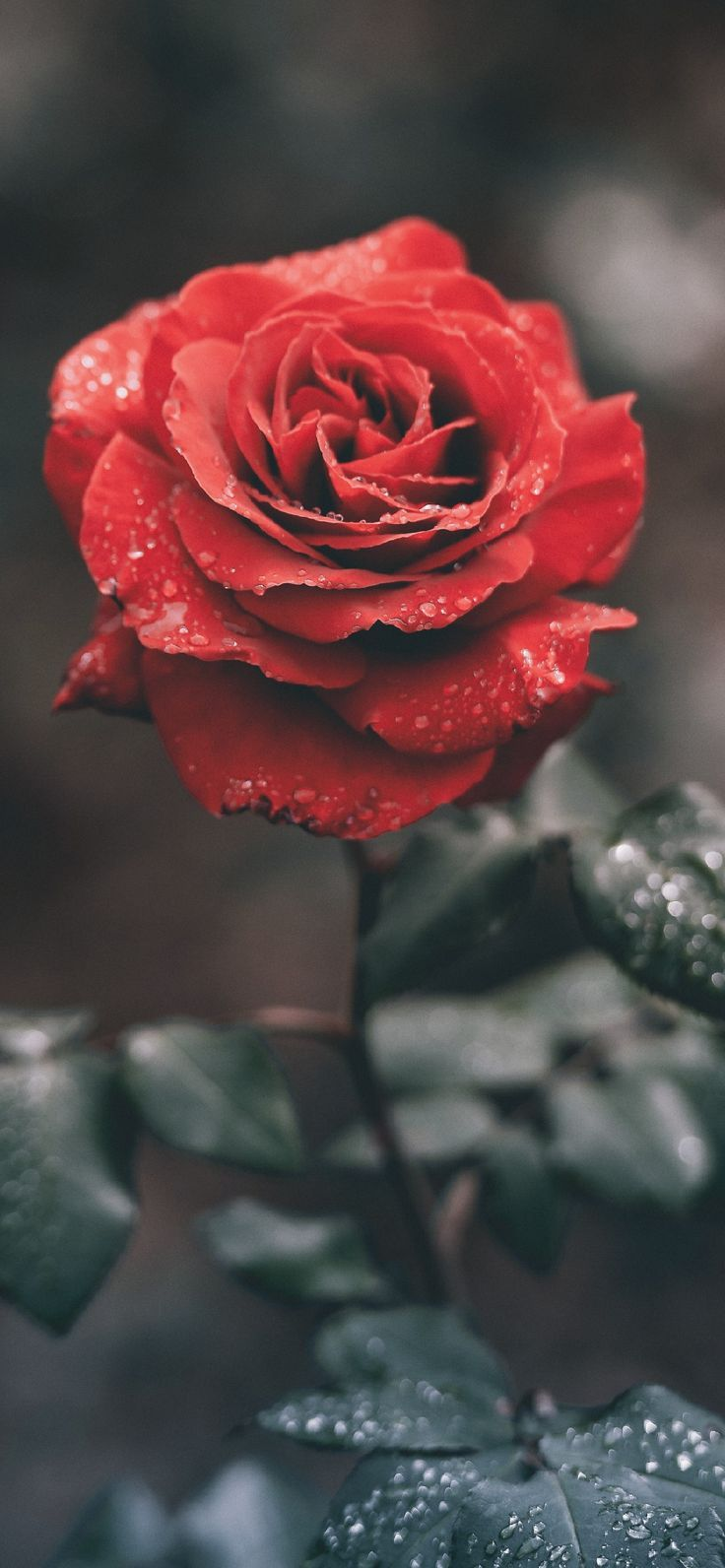 Dew On The Rose Phone Wallpaper Lockscreen Hd 4k Android Ios From A General Summary To Chapter Summ Wallpaper Iphone Roses Rose Wallpaper Red Roses Wallpaper