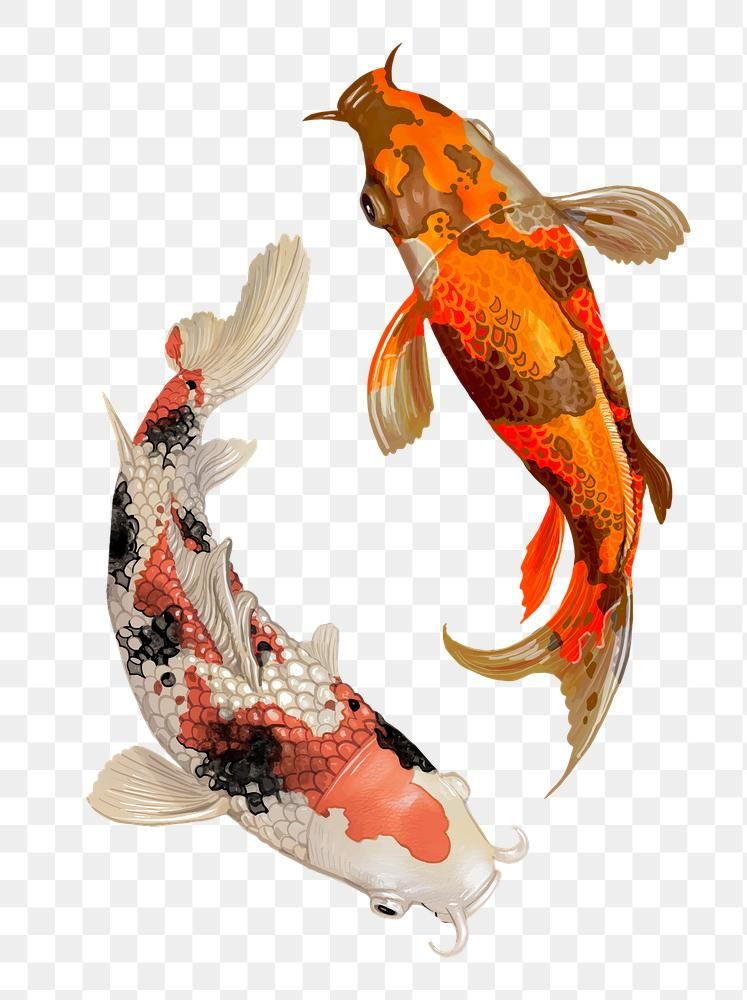 Download Premium Png Of Two Japanese Koi Fish Swimming Transparent Png Japanese Koi Koi Koi Fish