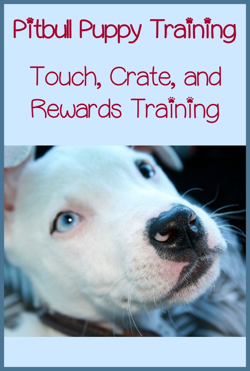 Pitbull Puppy Training Tips Touch Crate And Rewards Puppy