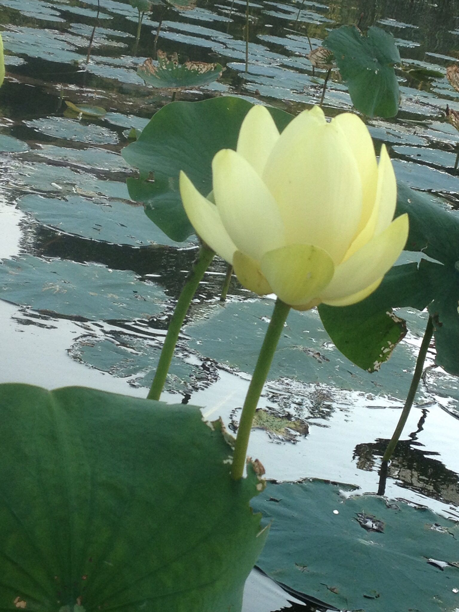American Lotus Blooming Now In Abundance In Sandbridge Beeut