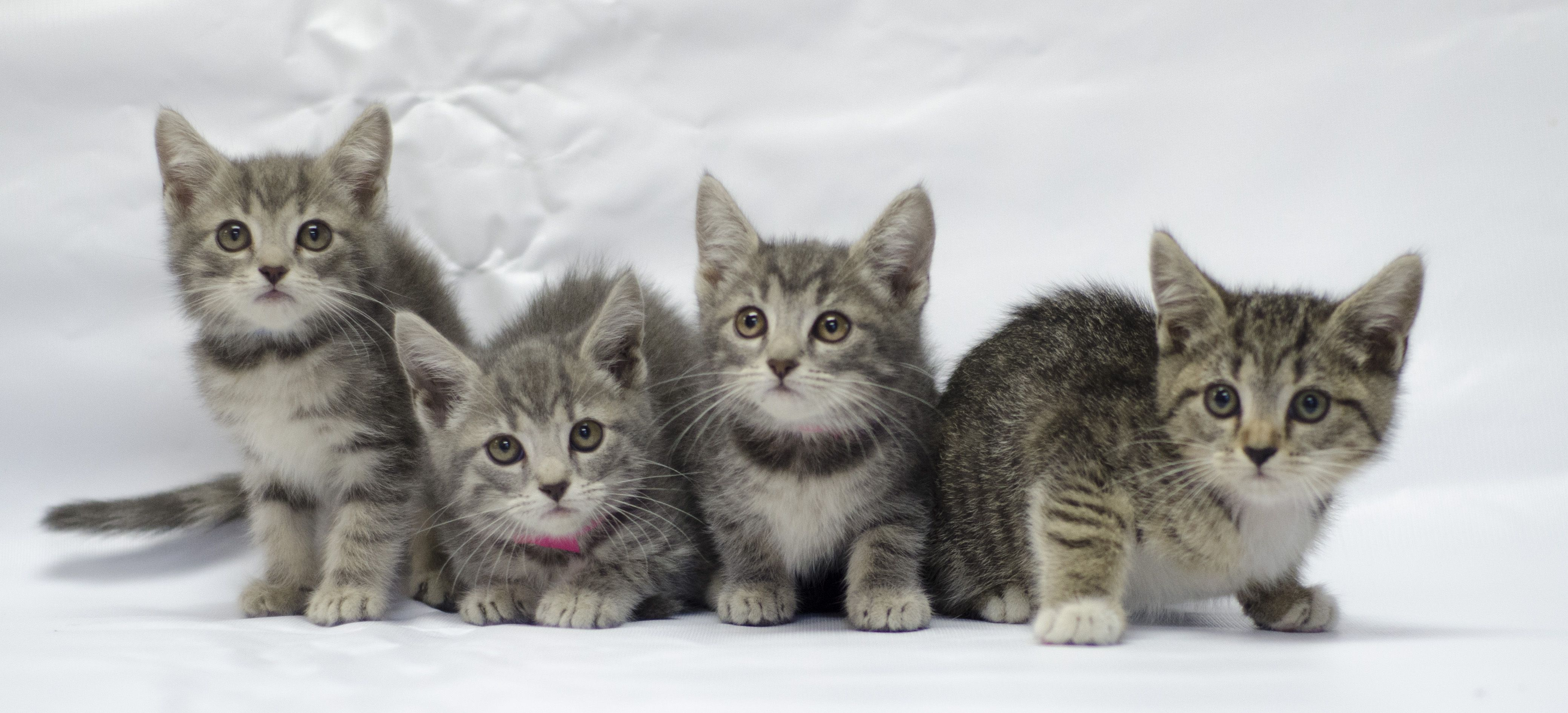 Need a snuggle Uber delivers kittens on demand