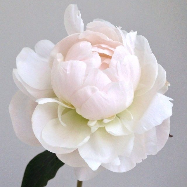 Peonies. Killing it softly.