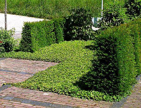 rönsyansikka muodostaa niin tiheän, ikivihreän maton kukkapenkkiin, että sinne ei rikkakasveilla oli mitään asiaa