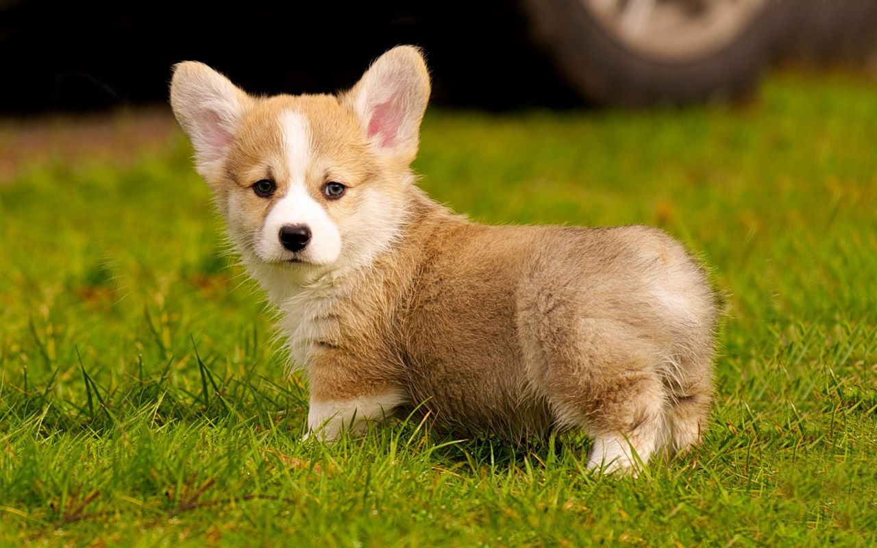Corgi Puppies 1280x800px 543403 Cute Dogs Images Corgi Corgi Puppy
