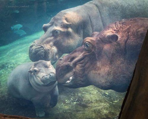 Hippo Blog #10 Breaking Up is Hard to Do Cincinnati Zoo Blog