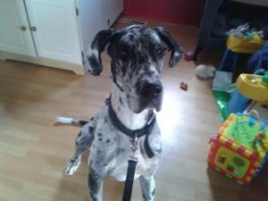 Adopt Diesel On Great Dane Dogs No Kill Animal Shelter Animal