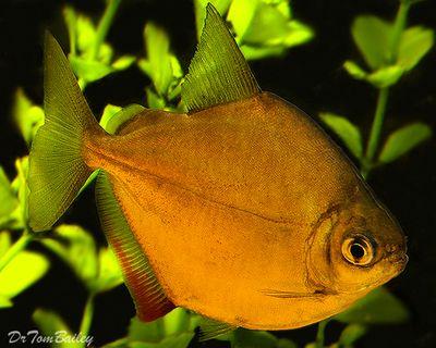 Silver Dollar Fish 1 5 To 2 5 Long Www Ecwid Com Fish Freshwater Aquarium Fish Pet Fish