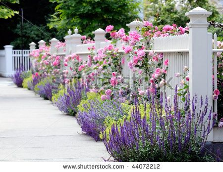 White fence and flower bed with pink roses, Salvia, Sage, Catmint ...