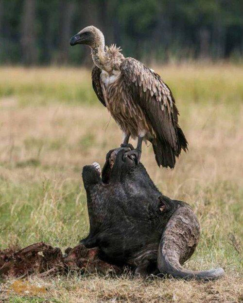 NatureIt's Badass! Wildlife photography, Animals, Vulture