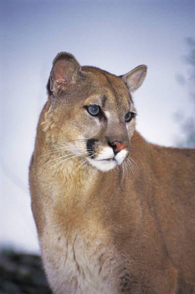 cougar mild