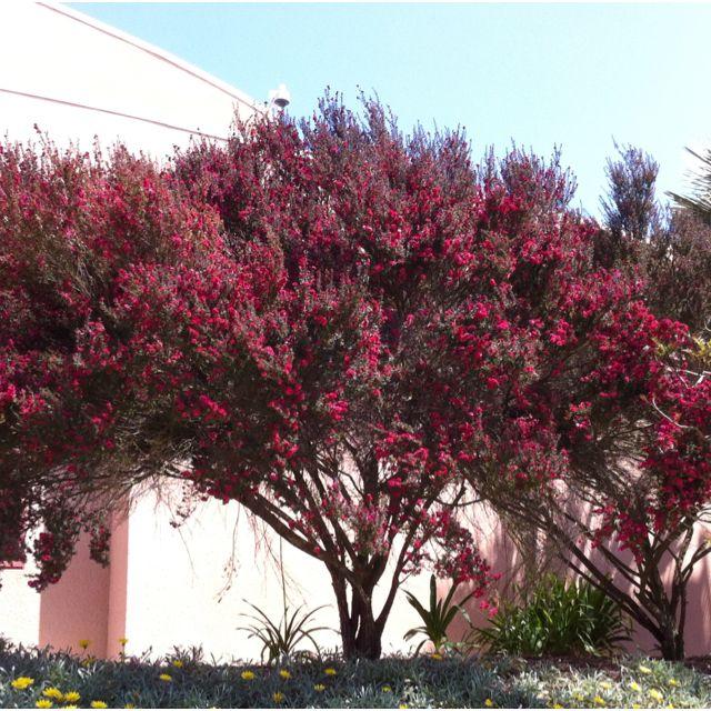 Beautiful Tree. Doyle Park, La Jolla