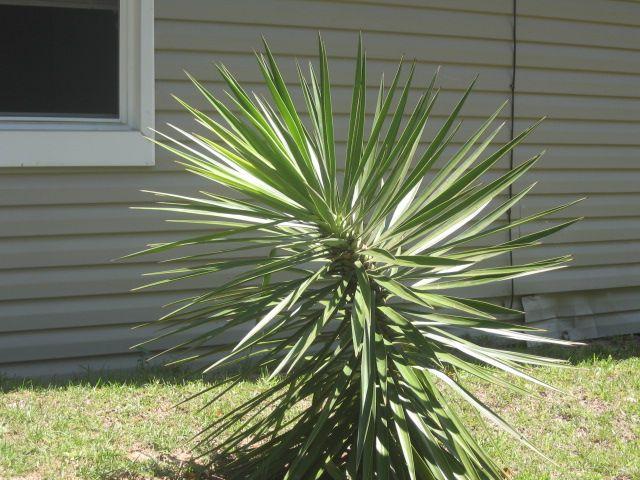 Meany-Picky- Yucky Palm Tree