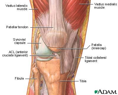 Diagram Of Knee Muscles Electrical Work Wiring Diagram