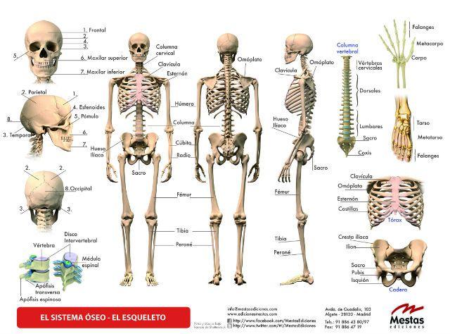 Principales huesos del cuerpo humano | Sistema esquelético humano ...