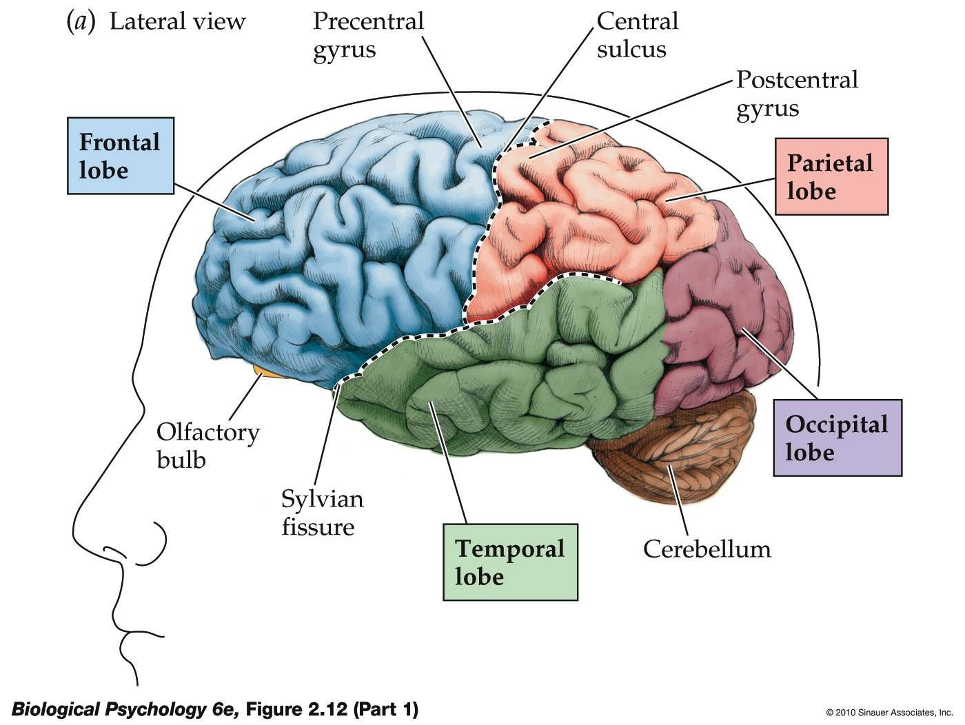 The Parts Of Brain Lobes Diagram - Electrical Work Wiring Diagram •