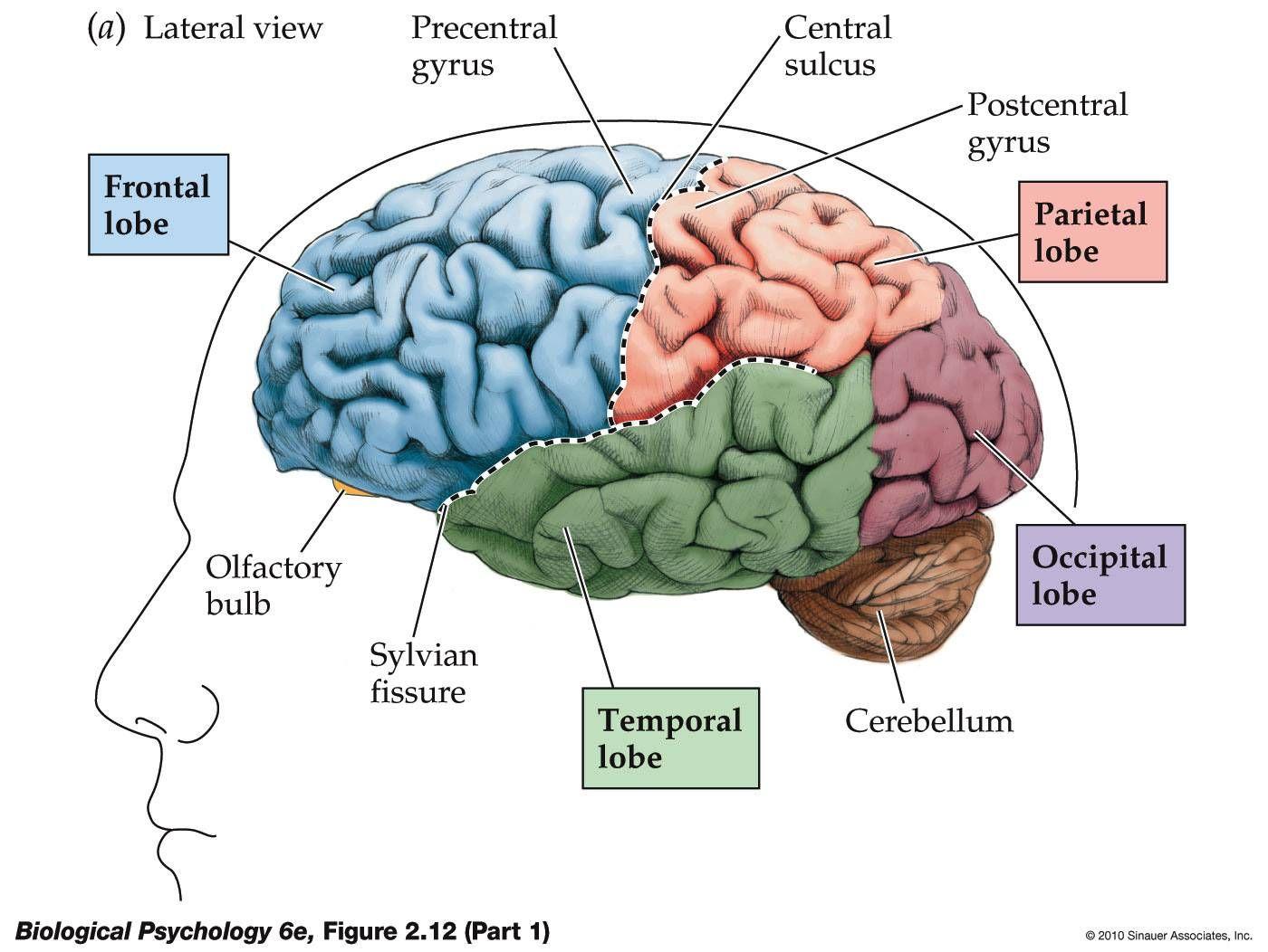 Frontal Lobe Diagram.Pin On Inspo Brainz