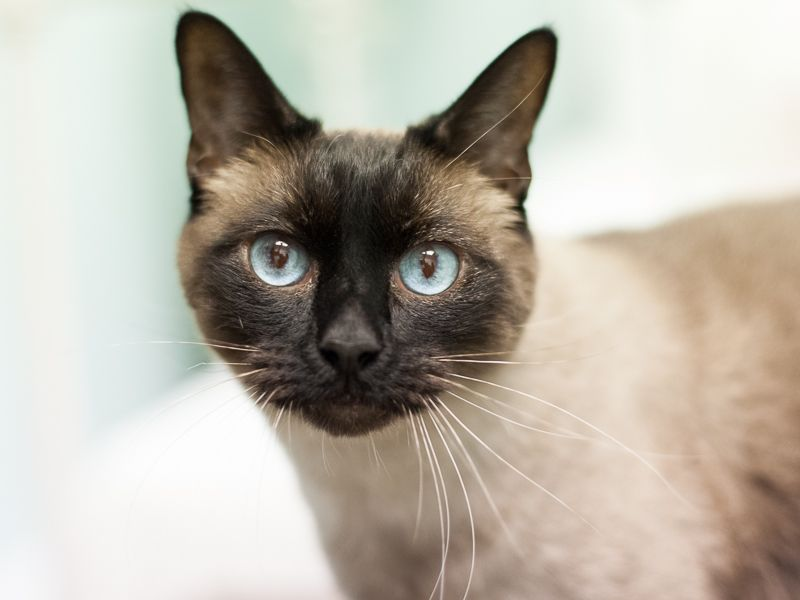 Adopt Pascal On Siamese Kittens Hairless Cat Cats