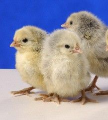 Silver Spangled Hamburg Chicken | Chicks for sale, Raising ...