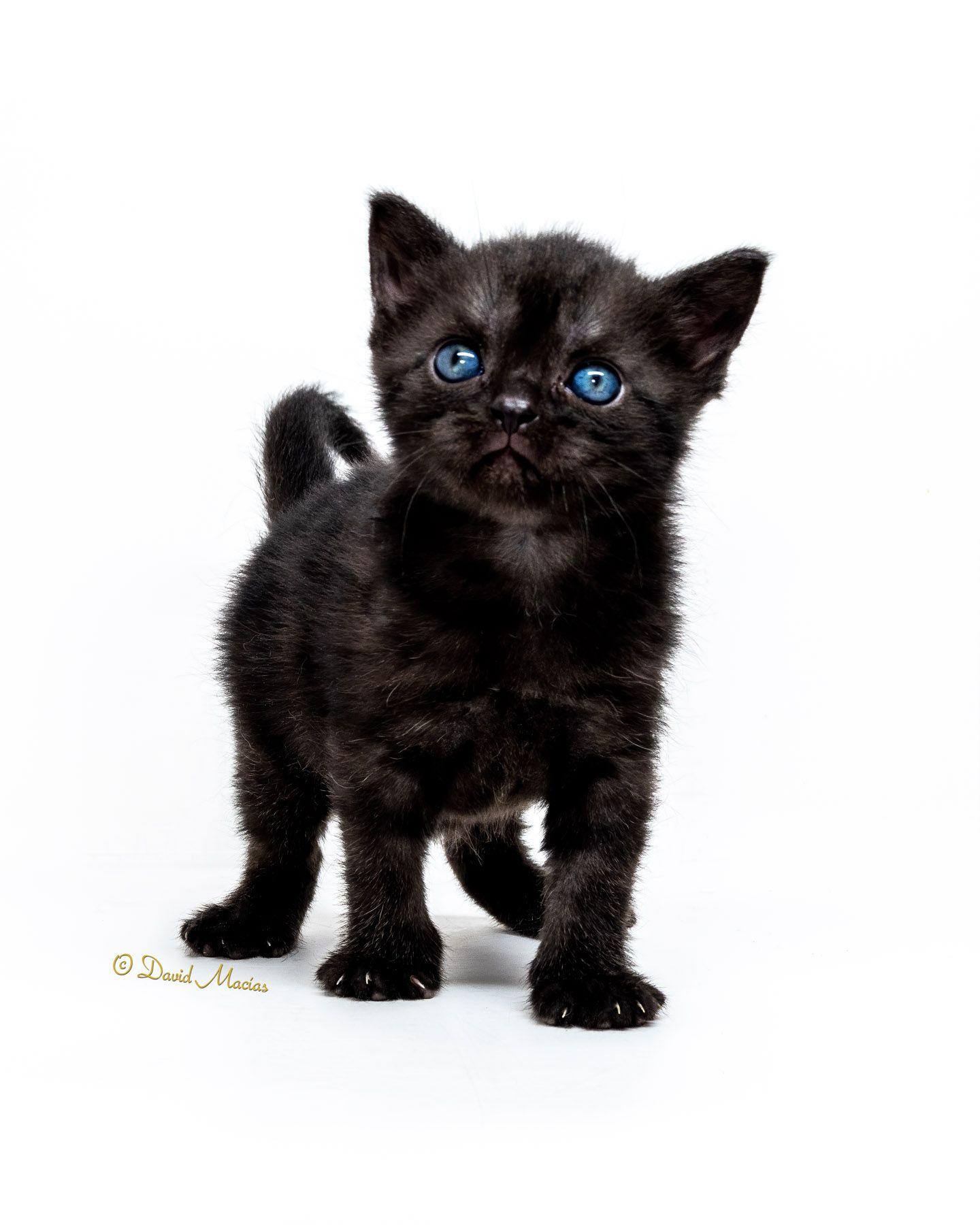 Milla S Kats Luna In 2020 American Shorthair Kitten American Shorthair Silver Tabby Kitten
