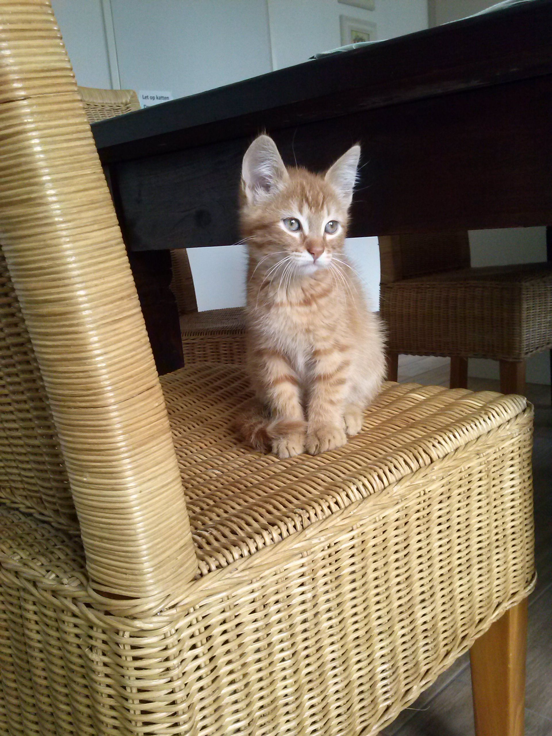 Cute ginger kitten #gingerkitten