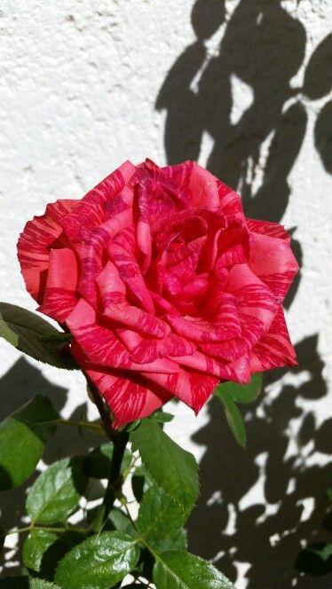 Rosa mesclada