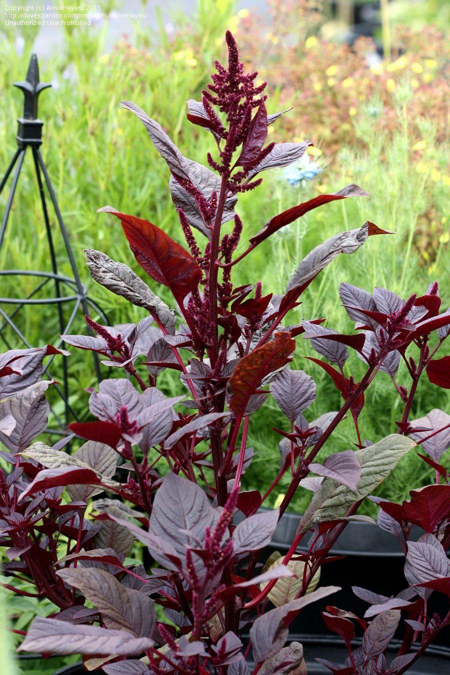 Plantfiles Pictures Purple Amaranth Red Amaranth Prince S Feather Mexican Grain Amaranth Hopi Red Dye Amaranthus Cruent Amaranthus Amaranth Plant Plants