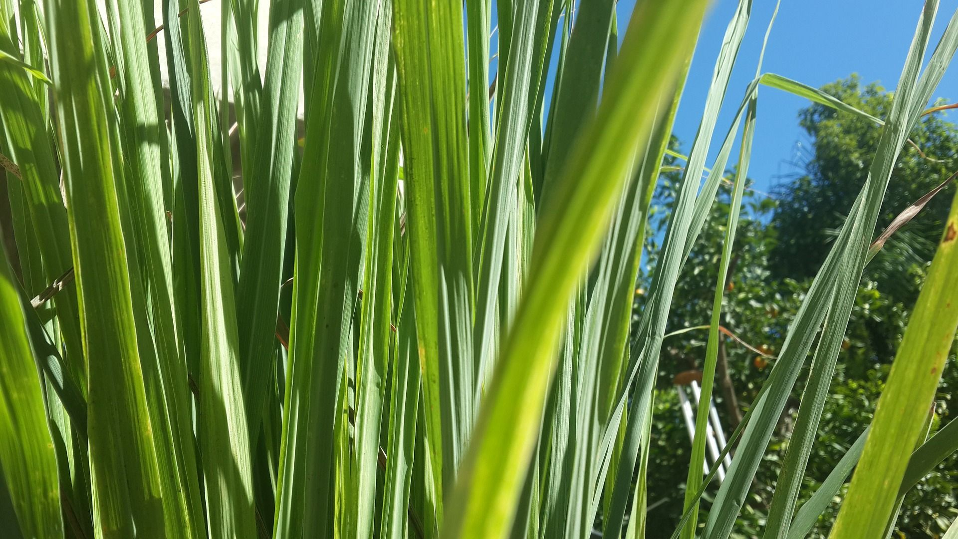 Lemongrass Is A Lovely Fragrant Plant That Is Easy To Take Care Of Lemongrass Has A Lemon Citrus Cent In 2020 Lemongrass Plant Mosquito Repelling Plants Lemon Grass