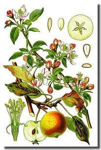 Comment Reconnaitre Les Arbres Fruitiers Fleur Photo Image Fruit Fleurs Feuille Illustration Botanique Impressions Botaniques Illustrations De Plantes
