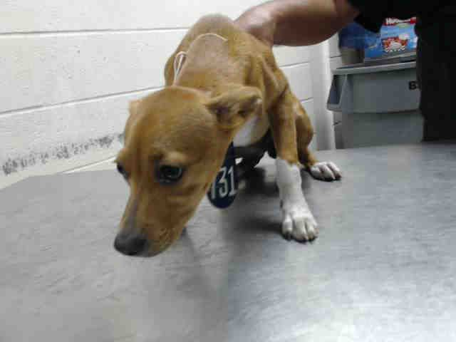 This Dog Id A463617 Located At Harris County Animal Shelter In Houston Texas 13 Week Old Female Chihuahua At The With Images Animal Shelter Animals Humane Society