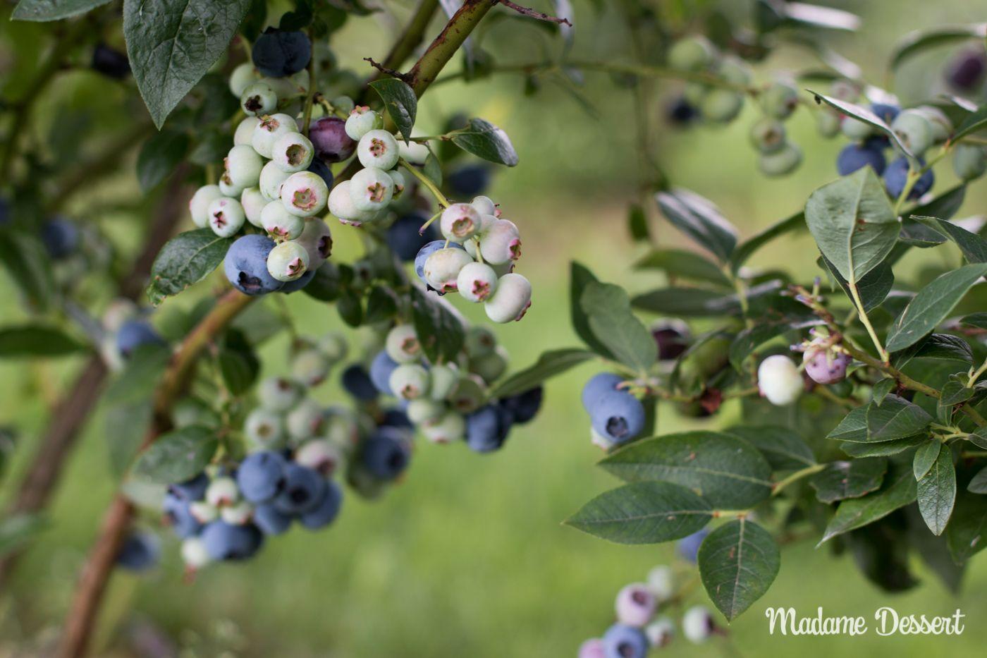 Selbst gepflückt schmeckt's doch am besten: Mein Ausflug zur #Heidelbeerernte in die #Oberpfalz und was ihr bei der Ernte der süßen Beeren beachten solltet.  #Heidelbeeren #Blueberries