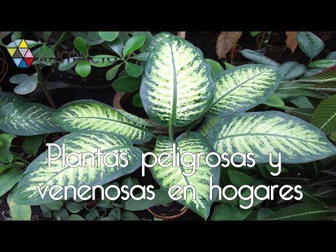 Plantas peligrosas y venenosas en hogares youtube no las - Plantas venenosas de interior ...