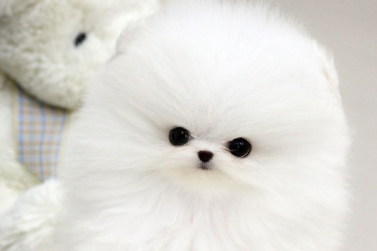 Diamond Is One Of The Best Pure White Pomeranians We Have Ever
