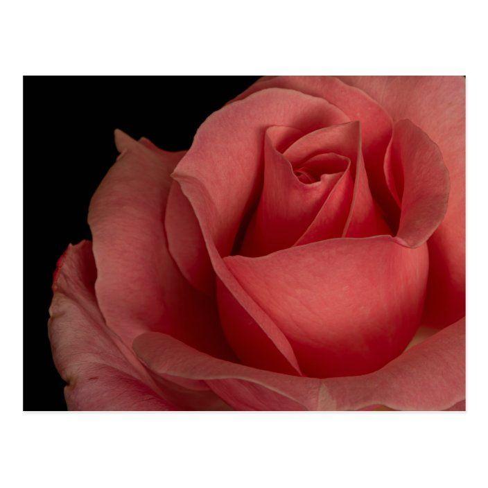 Postal Bonita rosa roja sobre un fondo negro  