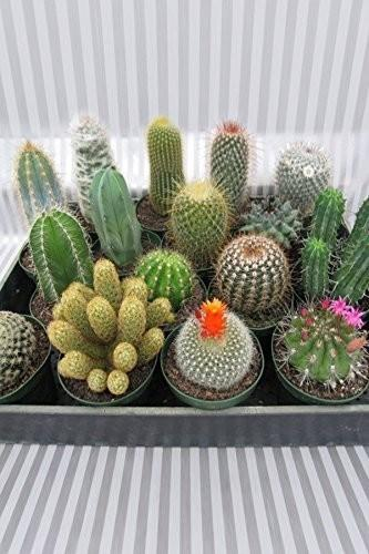 Buy Cactus Assortmentsucculent Easy Care Growers Select Cant