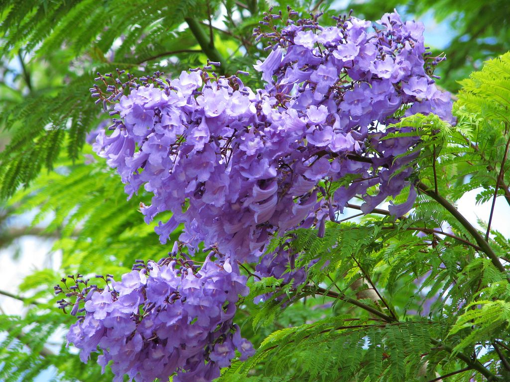Purple Blue Flowering Trees Blue Flowering Plants Flowering Trees Purple Flowering Tree