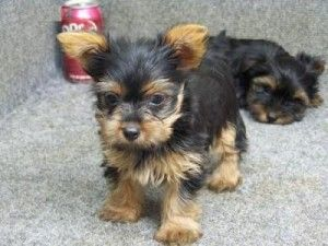 Yorkie Mixed This Is The Dog I Have Yorkie Puppy Rottweiler