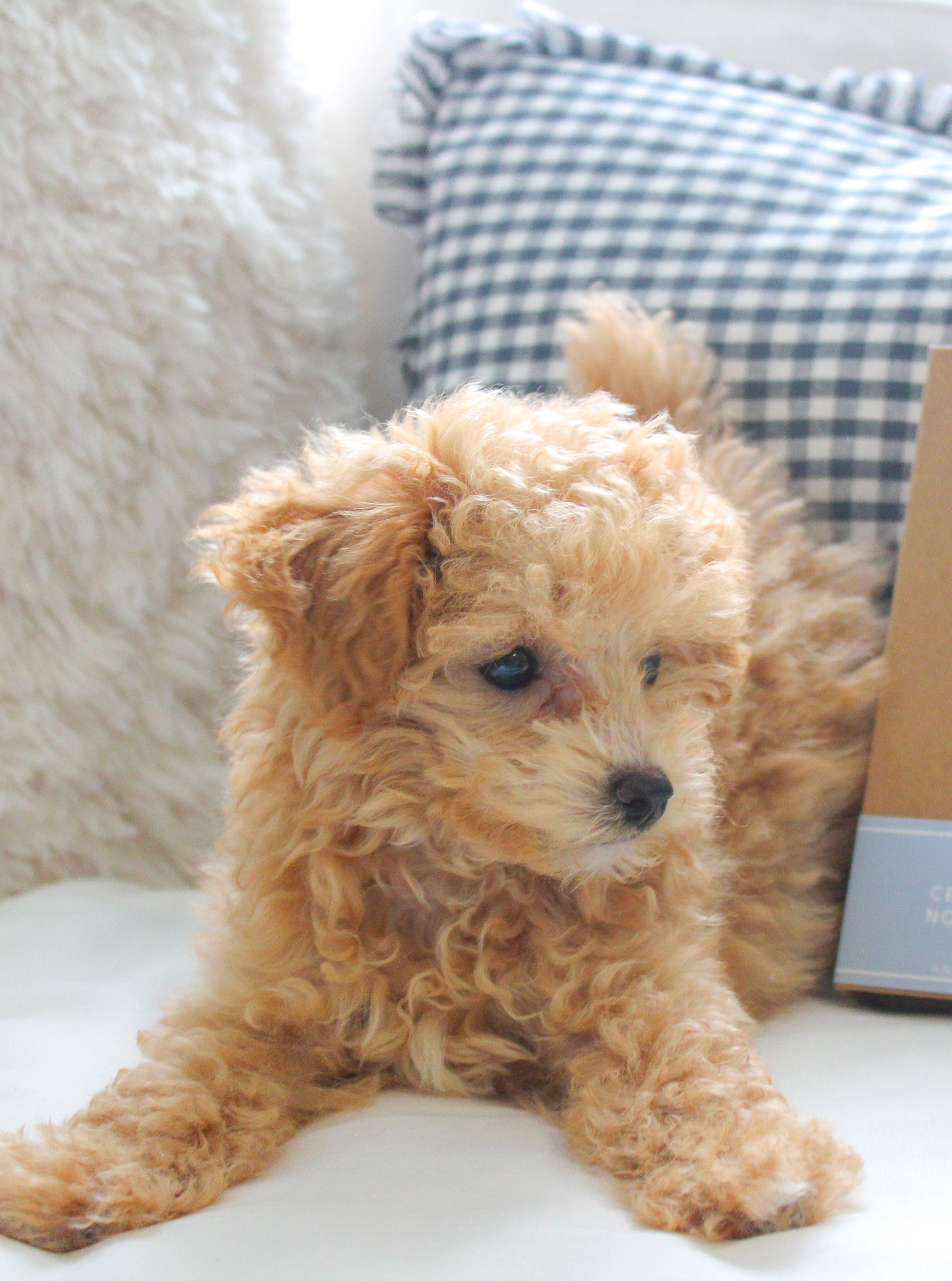 Ranger S Must Have Puppy Products With Images Maltipoo Puppy