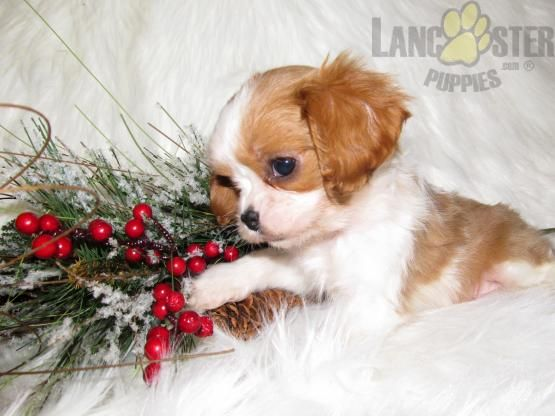 Jake Cavalier King Charles Spaniel Puppy for Sale in