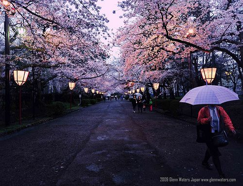 Sakura Night Hirosaki Japan Explored Over 23 000 Visits To This Photo Thank You C Glenn Waters Cherry Blossom Japan Japan Cherry Blossom