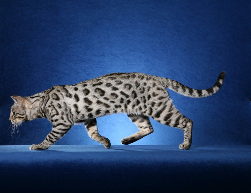 silver bengal cat Meow Pinterest