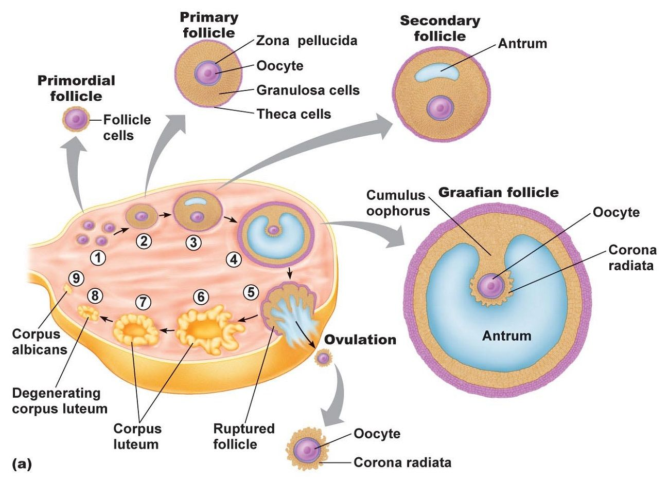 printable ovary diagrams are provided in the list below to show you the  anatomy of the ovary, along with the labels provided in the diagrams