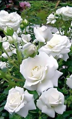 So Pretty White Roses Love It Flowers Plants Gardens