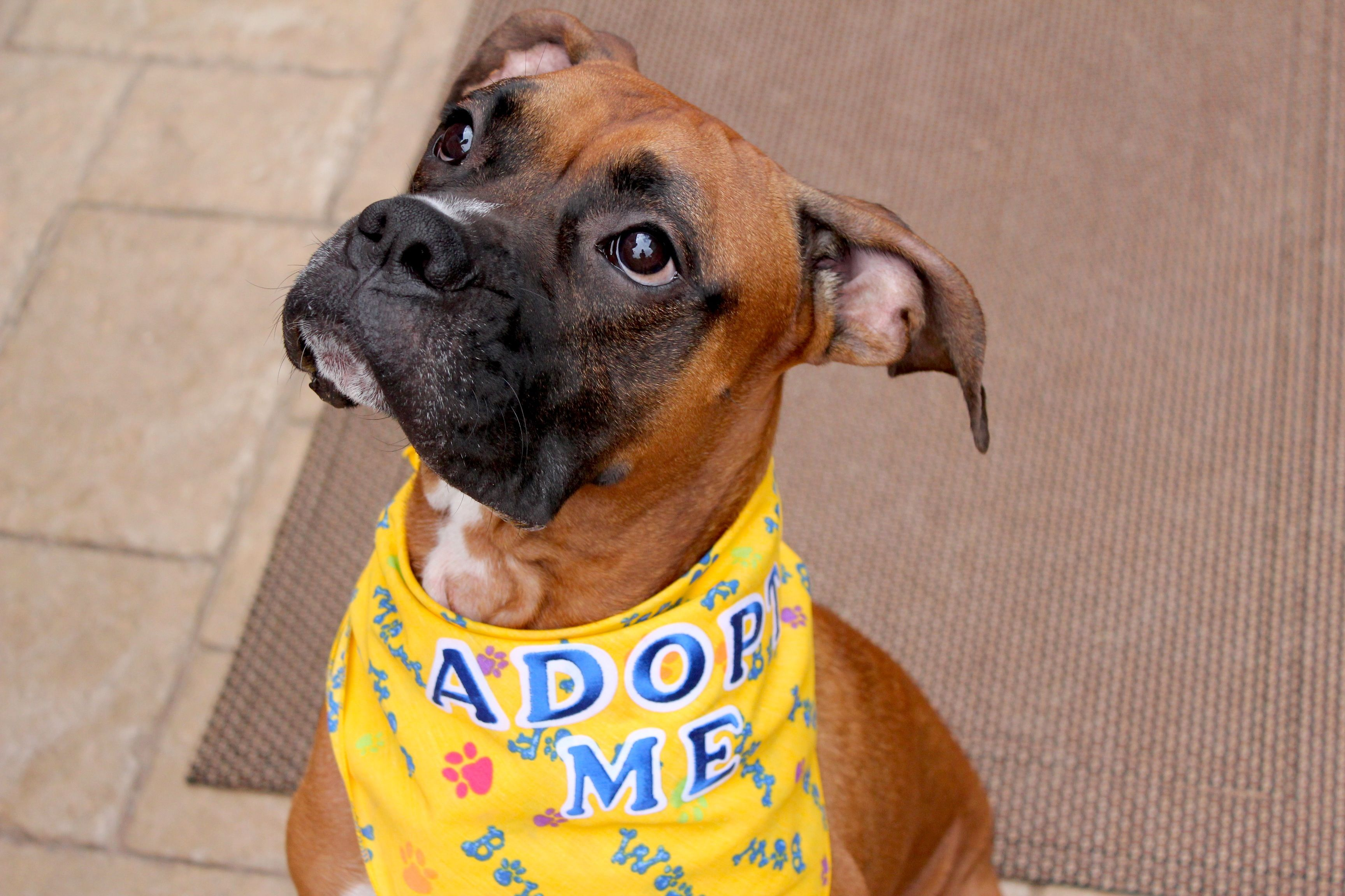 Anderson boxer dog (Legacy Boxer Rescue) Boxer breed