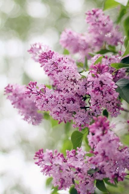 Mademoiselle Rose Pretty Flowers Lilac Bushes Beautiful Flowers