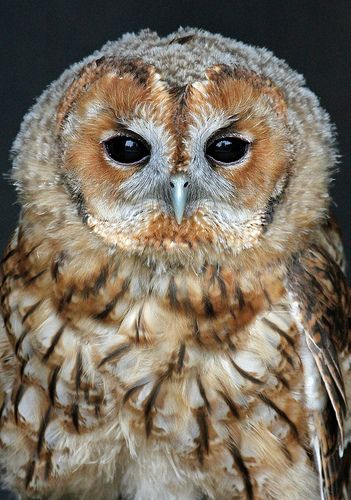 Tawny Owl | by Buggers1962
