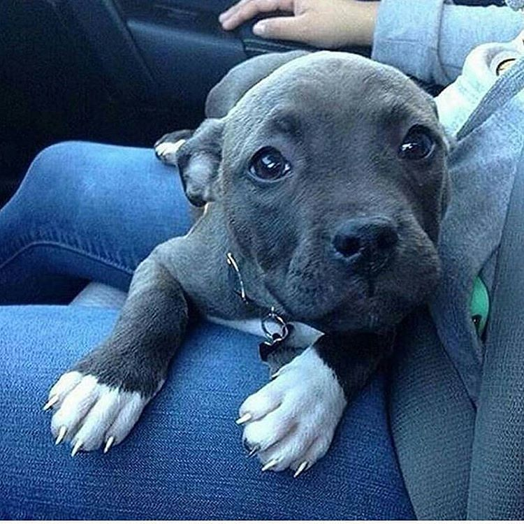 Ahh Darling Pittie Look At The Size Of Your Paws Cute Baby