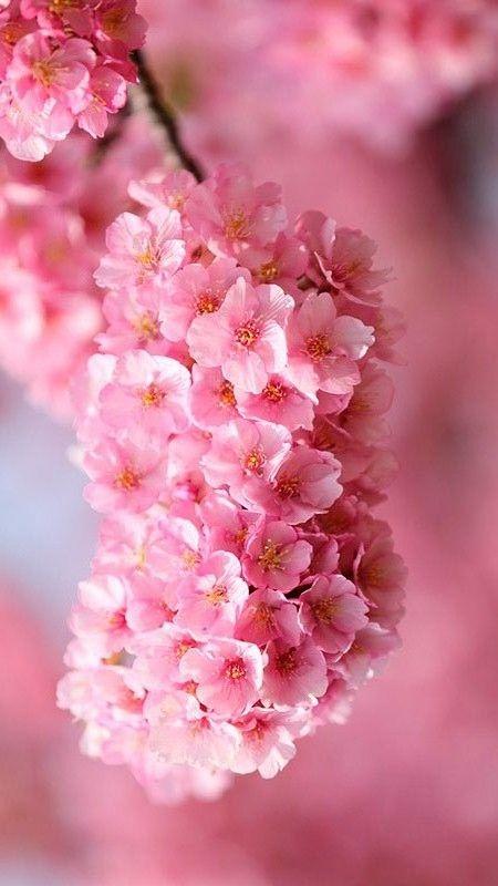 Por Mp Pink Flowers Pink Garden Blossom Trees